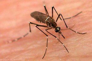 Dengue Mosquitoes, Monsoon diseases , Dengue, Dengue prevention