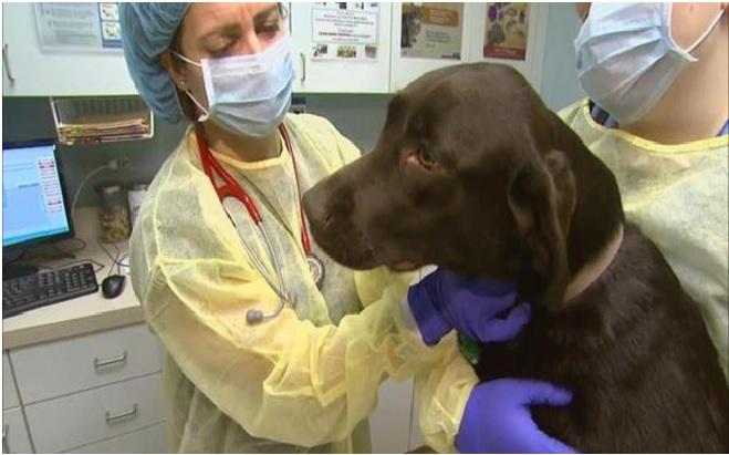 Dog flu virus