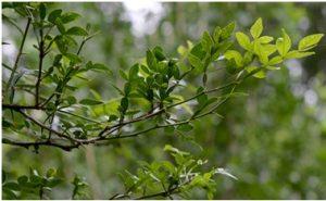 Bilva Leaves