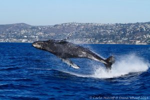 Best Places For Whale Watching In California, Whale Watching